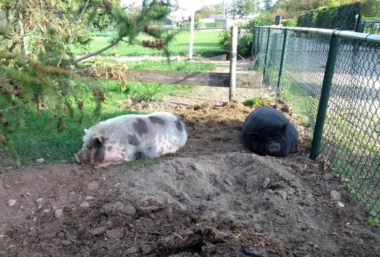 Also, hobby pigs must be well protected.