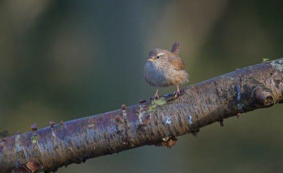 Wandelen met de boswachter, thema: vroege vogels Staverden - winterkoning