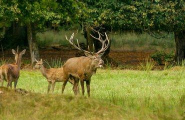 Wandelen met de boswachter, thema: hertenbronst