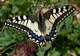 Papilio machaon. Koninginnenpage