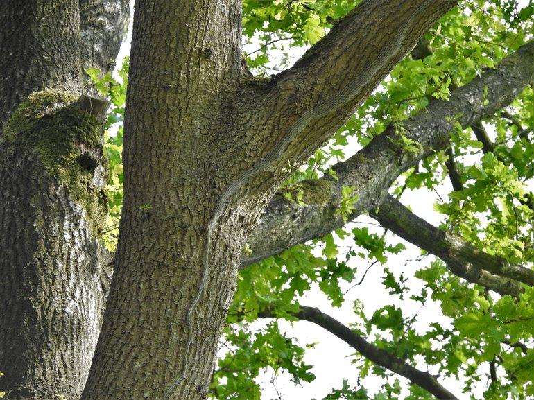 Bomen vol eikenprocessierupsen vertoonden nauwelijks vraat