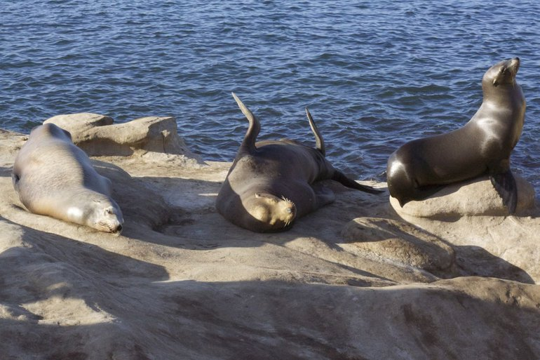 Sea lions are very social animals and can learn new skills from each other