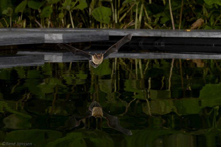 Dwergvleermuis doet poging om uit een vijver te drinken