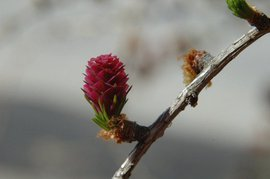Europese larix, European larch, larix decidua