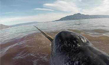 After their release, narwhals made a series of deep dives, swimming hard to escape, while their heart rates dropped to shockingly low levels (3 to 4 beats per minute). This put them in danger of not getting enough oxygen to the brain and other critical organs