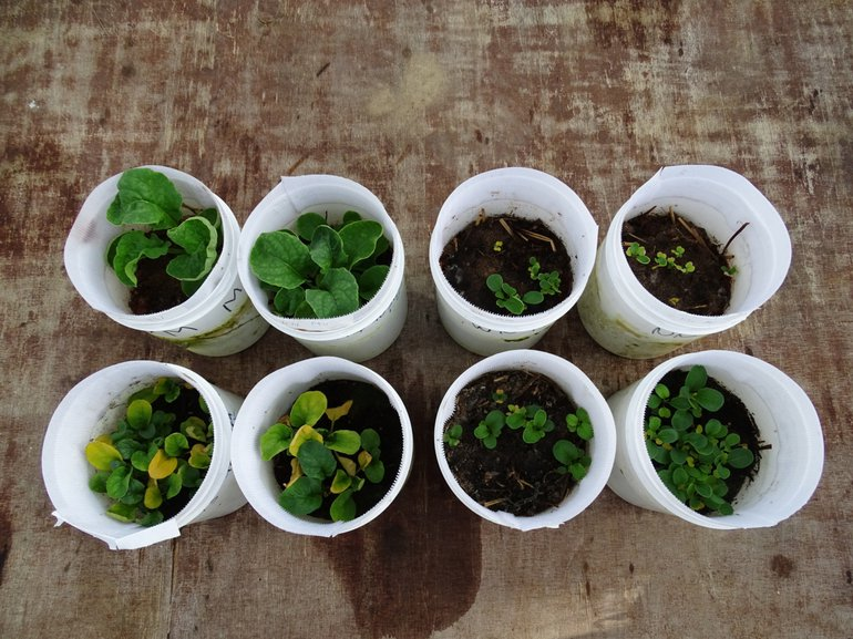 Overview of the results of the experiment with rucola. Pots are example pots and selected out of four replicas. With on top Mars soil simulant and bottom earth control. from left to right, worm and pig slurry, only pig slurry, only worms and no additions except organic matter, which was added to all pots
