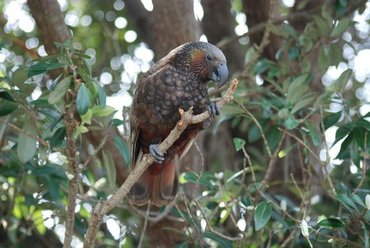 Kaka, an endangered parrot species endemic to New Zealand