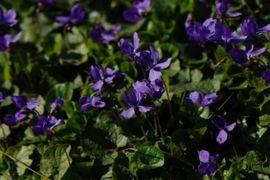Maarts viooltje foto Wout van der Slikke
