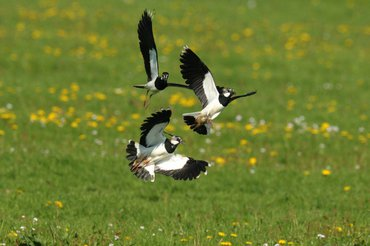 Northern lapwings in a pasture