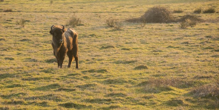 European bison in the Maashorst nature reserve