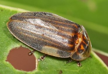 The firefly Aspisoma ignitum, although a fairly large beetle, was only first collected on St. Eustatius during the 2015 Naturalis expedition