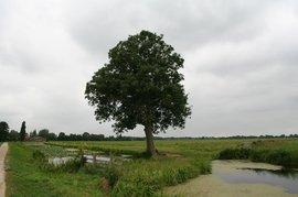 Essentaksterfte Fraxinus excelsior, solitaire boom in polder