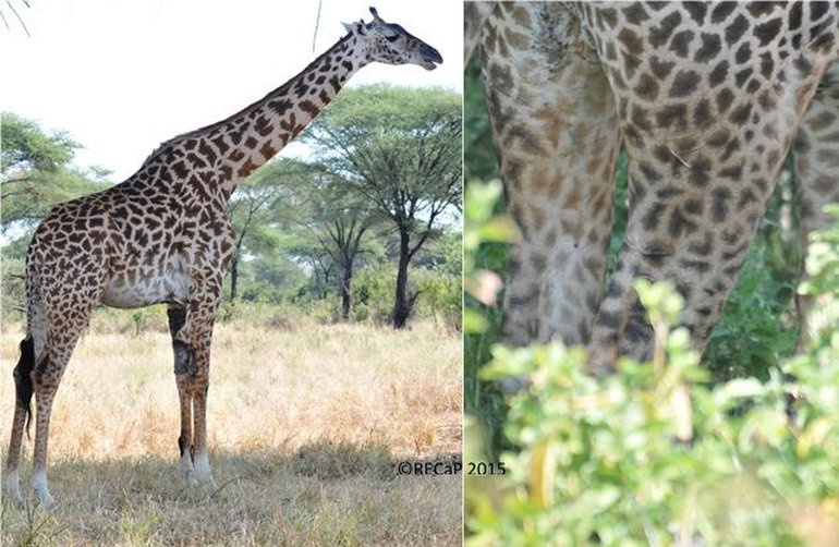 A female giraffe with severe skin disease (left) and an adult giraffe with claw marks on the hind legs (right)