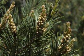 Pinus sylvestris, grove den, scots pine bloei mannelijke bloemen