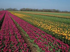 NL, Drenthe, Midden-Drenthe, Bruntinge 3,  tulpenvelden, tulip fields