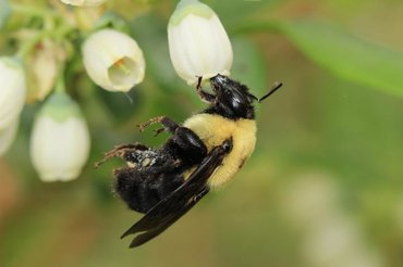 A brown-belted bumblebee at work, pollinating a blueberry flower. It belongs to one of the more than 100 species of wild bees Rachael Winfree and her colleagues collected and identified in 48 farms in Pennsylvania and New Jersey.