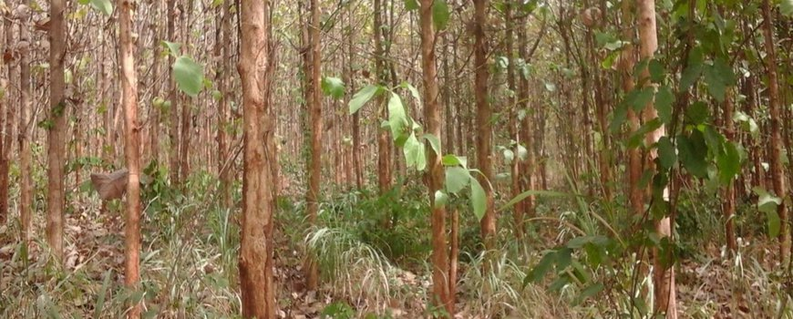 Nature today mainly exotic trees are used for reforestation of mainly exotic trees are used for reforestation of rainforests in africa sciox Image collections