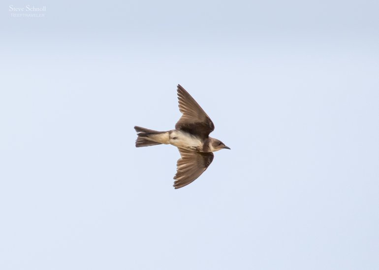 Brown-chested Martin in flight