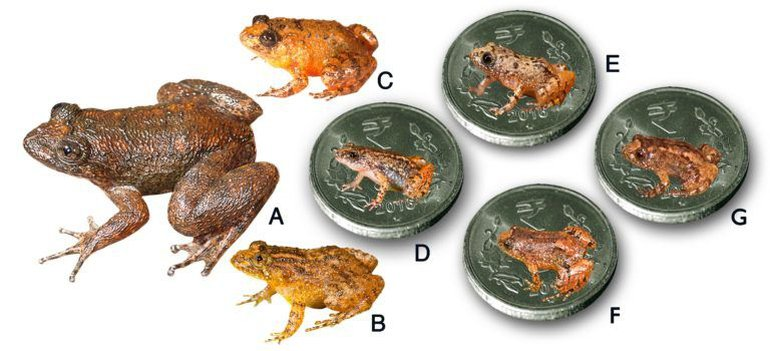 Seven new species discovered from the Western Ghats. A. Radcliffe's Night Frog (Nyctibatrachus radcliffei), B. Athirappilly Night Frog (Nyctibatrachus athirappillyensis), C. Kadalar Night Frog (Nyctibatrachus webilla), D. Sabarimala Night Frog (Nyctibatrachus sabarimalai), E. Vijayan's Night Frog (Nyctibatrachus pulivijayani), F. Manalar Night Frog (Nyctibatrachus manalari), G. Robin Moore's Night Frog. [(D-G. Size of the miniature species in comparison to the Indian five-rupee coin (24 mm diameter)]