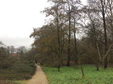 Els (Alnus subcordata) vol in bloei op 23 december 2017 in de botanische tuin Belmonte in Wageningen