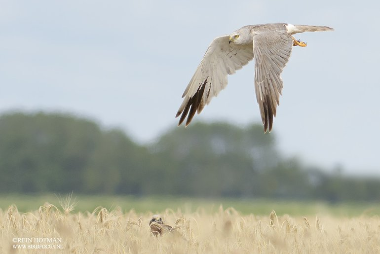 Father and daughter Pallid Harrier