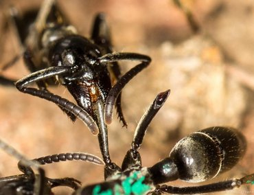A Matabele ant treats the wounds of a mate whose limbs were bitten off during a fight with termite soldiers