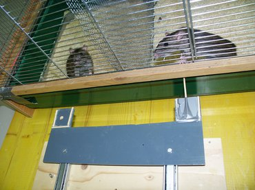 A rat pulls food on a platform toward another rat in the cage behind. It helps especially when it has been helped before.