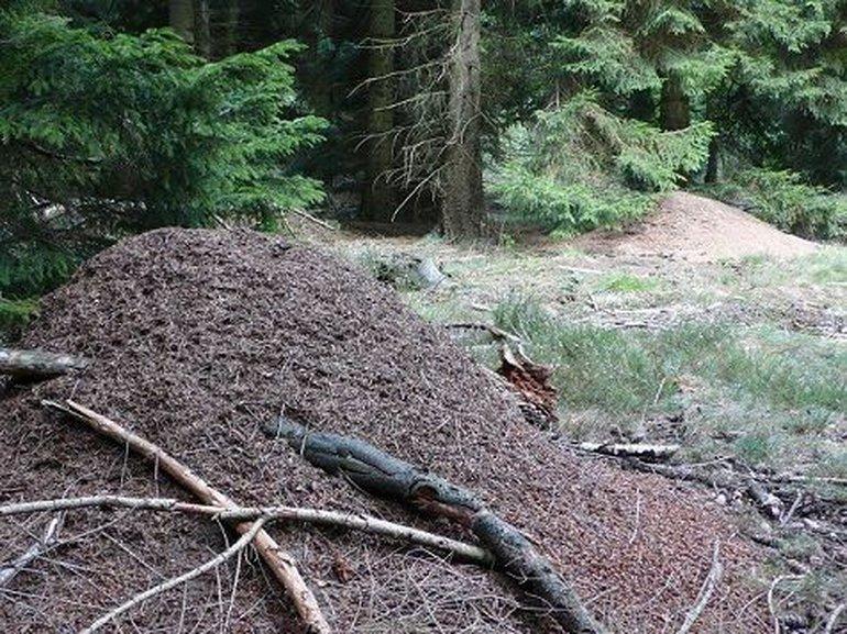 Twee grote koepelnesten van de kale rode bosmier