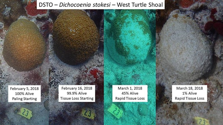 'Stony Coral Tissue Loss Disease' on coral