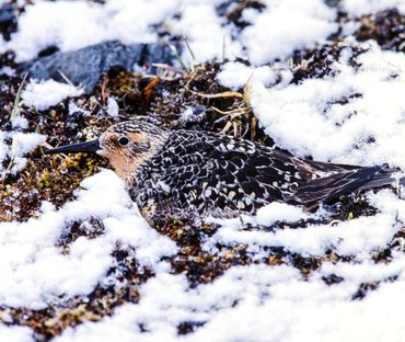 Red knots used to incubate their eggs in the Arctic snow in order to optimally time the hatch date of their chicks relative to the insect food peak. Nowadays, red knots have a hard time keeping pace with the rapidly advancing onset of Arctic summer