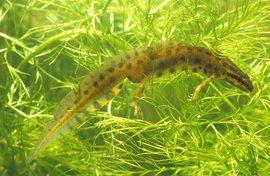 Triturus vulgaris. Kleine watersalamander, man