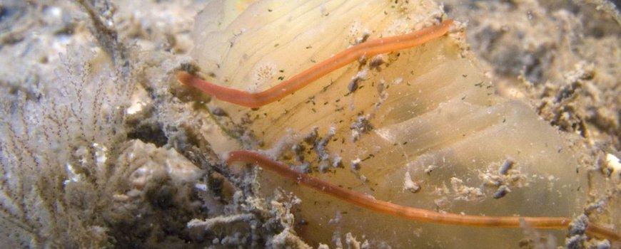 Cephalothrix simula