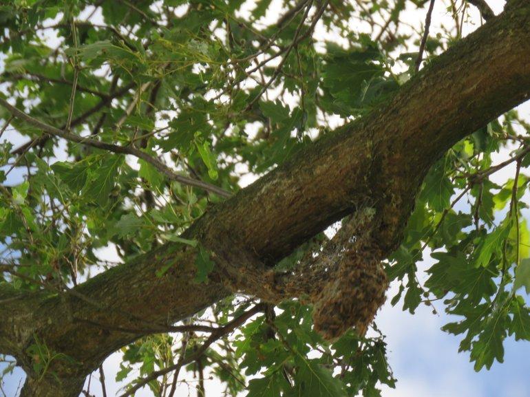 Verlaten nest op 28 juni 2018. Eikenprocessierupsen waren in de bodem gekropen