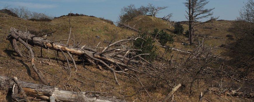 Geringde naaldbomen leveren veel keversoorten op