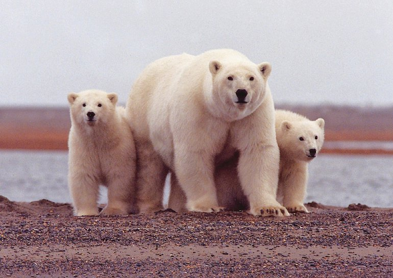 Polar bears are listed as a species of 'special concern' in Canada. Their numbers are declining from the combination of losing habitat and feeding opportunities related to climate change