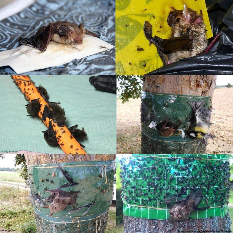 Vleermuizen als onbedoeld slachtoffer van lijmbanden en plakstrips