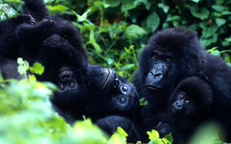 Gorillafamilie in Virunga National Park
