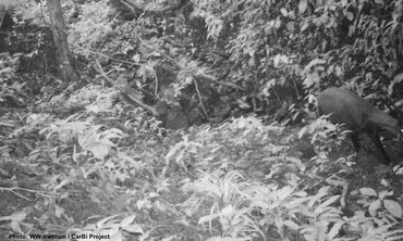 The last confirmed record of a saola is a photograph obtained through camera-trapping by WWF-Vietnam in 2013 in the Saola Nature Reserves