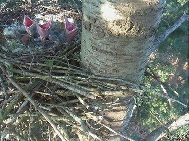 Vijf jonge raven op het nest tijdens het controleren vanaf de grond