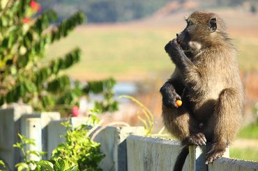 Some male baboons still find their way into the City's urban spaces in search of fast food