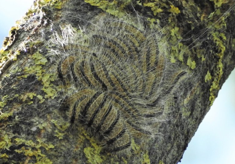 Rupsen in vierde larvestadium, beginnend met nestvorming