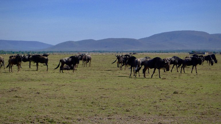 Wildebeest approaching a fenced area