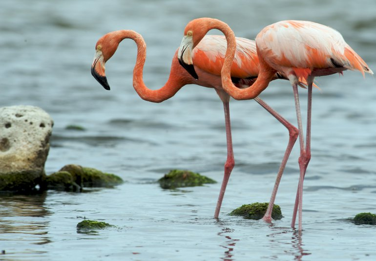 Bonaire is one of four major breeding sites in the Caribbean for the Caribbean flamingo (Phoenicopterus ruber)