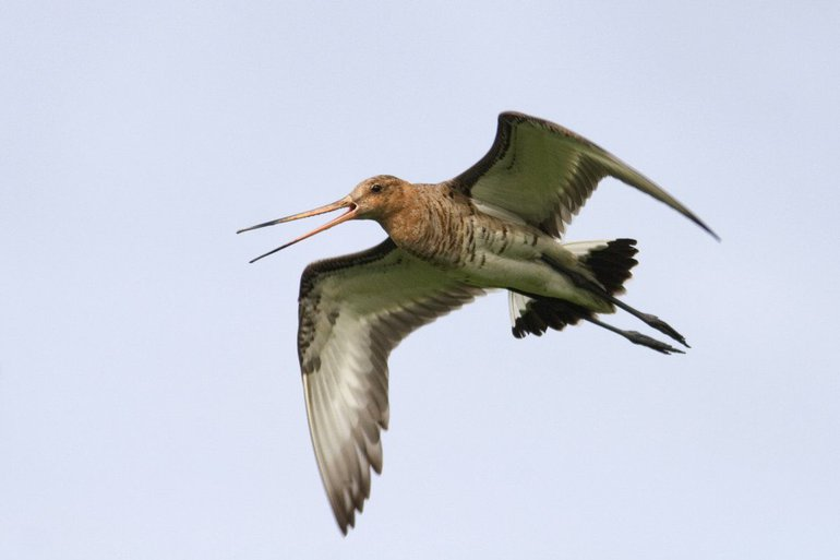 The black-tailed godwit, the national bird of the Netherlands, is decreasing dramatically