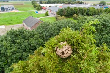 Nest van de Aziatische hoornaar in de gemeente Sluis