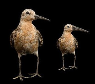 The red knot as it is now (left) and an exaggerated projection how the future red knot might look like (right): smaller, but having maintained its relatively long bill