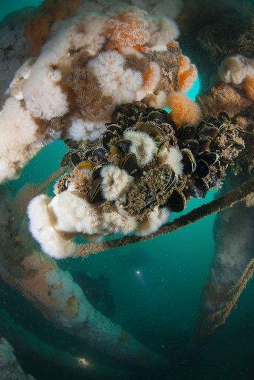 Kunstmatige riffen van olie- en gasplatforms, windturbines en scheepswrakken vormen een goede vestigingsgrond voor bodemdieren