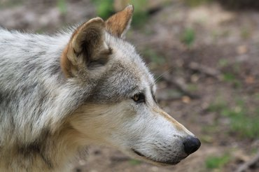 Head of Eurasian wolf