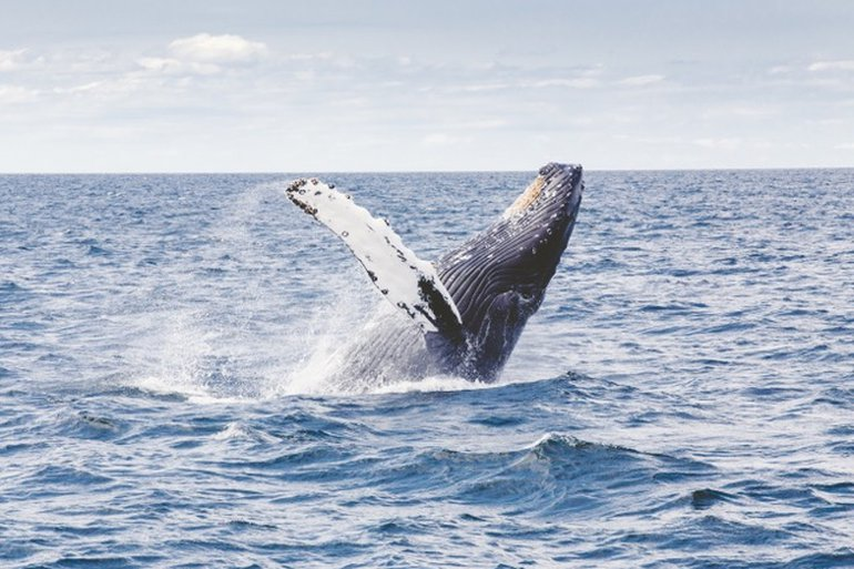 Humpback Whales (Megaptera novaeangliae) spend the winter months in the warm Caribbean waters where they calve and suckle the baby whales until they are strong enough to begin the trek to their feeding ground at high latitudes in temperate and sub-polar waters