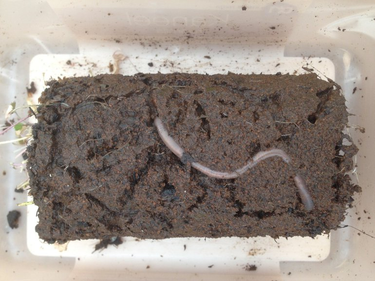 An earthworm in Mars soil simulant with an extensive system of burrows in a pot with garden cress